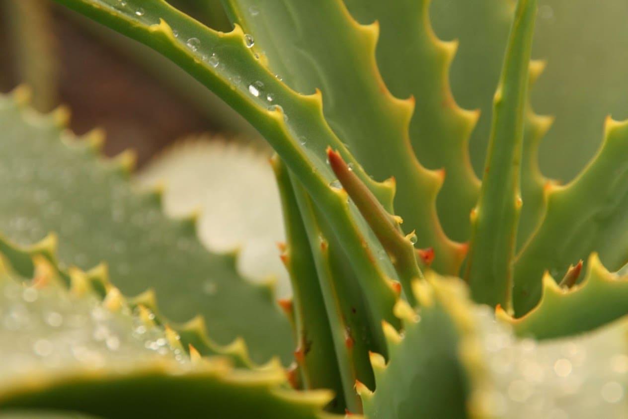 aloe arborescens bio